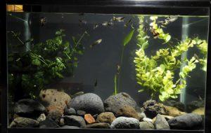Содержание аквариума: от запуска до ухода