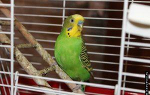 Содержание волнистых попугаев
