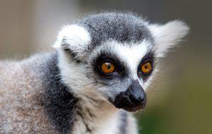 Кошачий лемур – абориген Мадагаскара