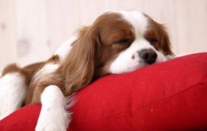 Собаки в спальне повышают качество сна  0