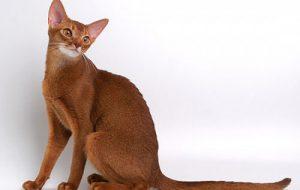 Абиссинская кошка: особенности породы