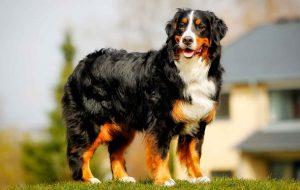 Порода бернский зенненхунд – пастушья собака