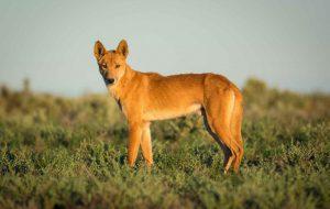 Динго – собака Австралии