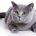 Особенности ухода за Британской короткошерстной кошкой