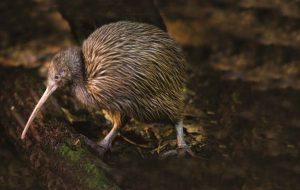 Киви – птица из Новой Зеландии