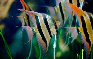 Рыбка скалярия – перламутровая красавица