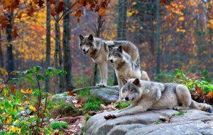 Волк – дикое хищное животное
