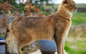 Сомалийская кошка, особенность породы
