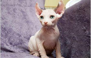 Кошка Двэльф