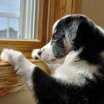 Как оставить щенка одного дома