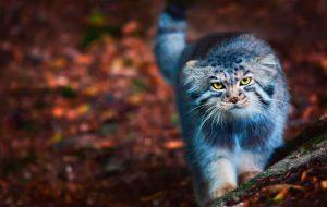 Манул – дикий кот степей