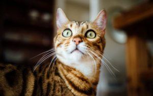 Говорят ученые: кошки-невротики просто повторяют за хозяевами