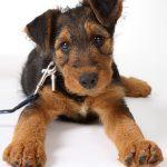 Как приучить собаку гулять без поводка