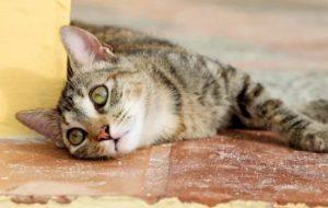 Котенок отравился: симптомы и самые первые признаки отравления.