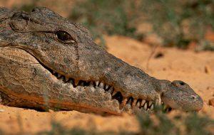 Крокодиловы слезы или, о чем плачет крокодил?