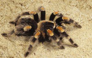 Интересные факты о пауках-птицеедах