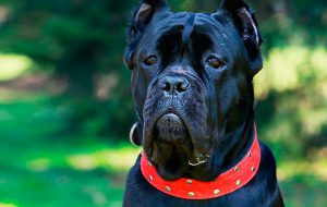 Редкие породы собак, о которых вы точно ничего не слышали