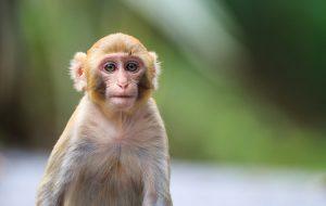 В геном обезьян внедрили человеческий ген