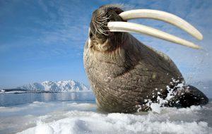 Интересное из жизни моржей