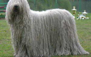 Комондор (Венгерская сторожевая овчарка)