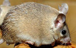 Иглистая египетская мышь (акомис)