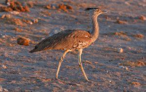 Княжеская птица – дрофа