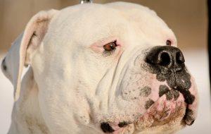 Куриные кости и 10 других продуктов, которые нельзя давать собакам