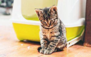 Понос у кошки: возможные причины и осложнения