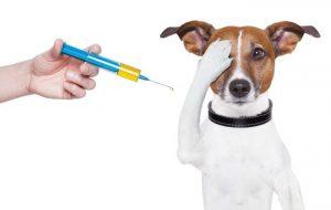 Вакцинация собак: вторая прививка щенку и основные правила вакцинации