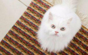Как и чем правильно чистить уши кошке в домашних условиях