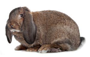 Разжигают ли кролики вожделение