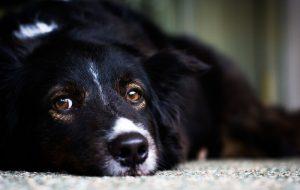 Почему у собаки гноятся глаза и как их лечить