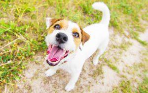 Команда «голос» для собаки: как научить?