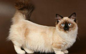 Шикарные коты породы манчкин