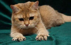 Как обрезать кошке когти?