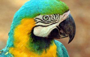 Научить попугая говорить реально?
