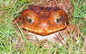 Экзотический гость — жаба ага