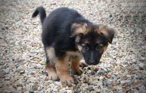 Как ухаживать за беременной собакой дома