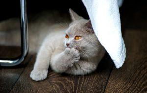 Как ухаживать за шотландской короткошерстной кошкой