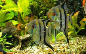 Какие бывают аквариумные рыбы