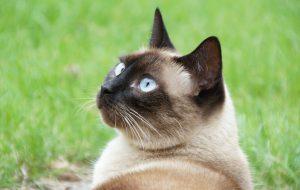 Советы по уходу и питанию тайской кошки