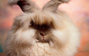 Ангорский кролик: сами с ушами