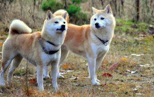Уход за собакой породы Акита-ину