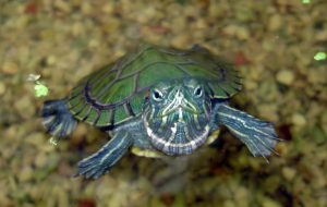 Корм для водных черепах