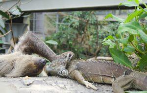 Ленивцы: путь длиной в миллионы лет