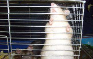 Если ваша крыса скоро станет мамой