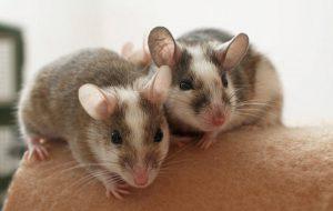 Мастомисы: «недокрыса» или «супер-мышь»? Ни то, ни другое!