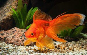 Содержание золотой рыбки