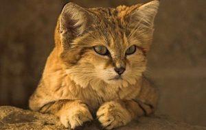 Барханный кот — чудо природы