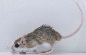 Акомисы: «ни мышонок, ни лягушка, а неведома зверушка»